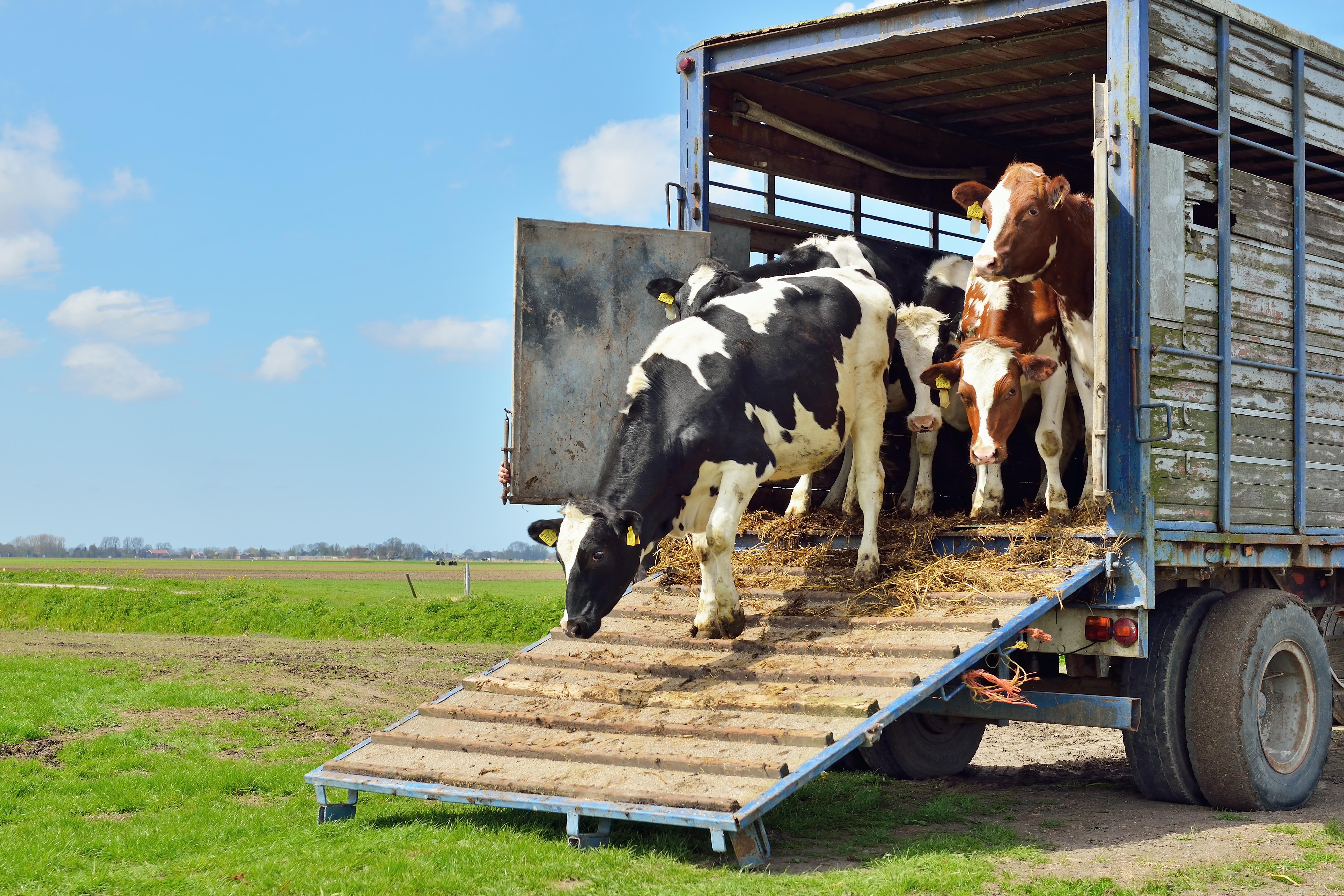 Kopyto za kopytem, czyli transport żywych zwierząt